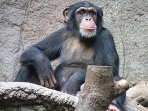 chimpa-e1382622401943